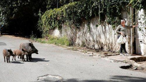 »Verfall« der Ewigen Stadt: Wildschweine in Rom mischen den Wahlkampf auf