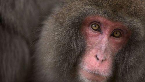 Makaken-Weibchen Yakei: Erst verprügelte sie ihre Mutter, anschließend den stärksten Mann – dann war sie Chefin