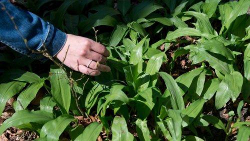 München: Mann verwechselt Giftpflanze mit Bärlauch und stirbt