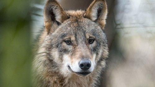 Weit gewandert: In Köln gesichteter Wolf stammt aus den Alpen