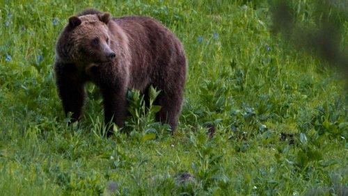 US-Bundesstaat Montana: Grizzly-Bär tötet Mann nahe Yellowstone-Park