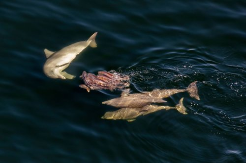 Amazing Photos: Bottlenose Dolphin Harass and Mouth Redfish