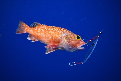 Strange Fishes from the Deep: Blackbelly Rosefish and More