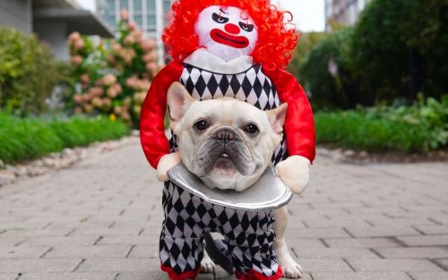 Oh, No! An Evil Clown Attacked This Adorable French Bulldog