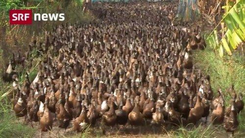 SRF News - Enten bekämpfen Schädlinge im Reisanbau - Play SRF