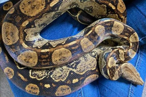 6ft Boa constrictor snake on loose in UK village has now been found