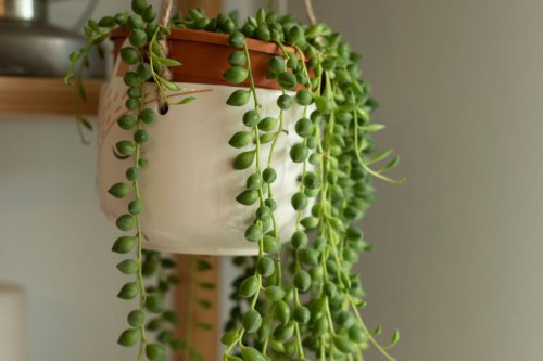 How to look after notoriously tricky string-of-pearls houseplants