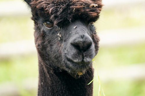 George Eustice defends decision to euthanise Geronimo the alpaca