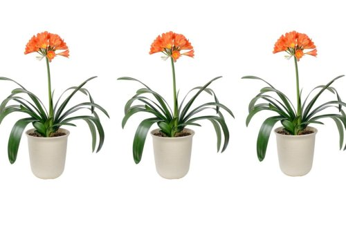 This houseplant will flower when Brits most need colour at home