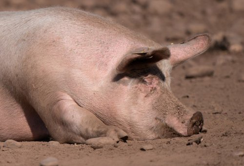 'Really dark day' for pig farmers faced with gas shortages