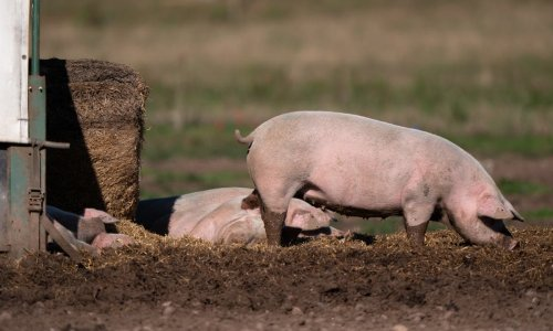 CO2 shortage could force pig farmers to slaughter animals