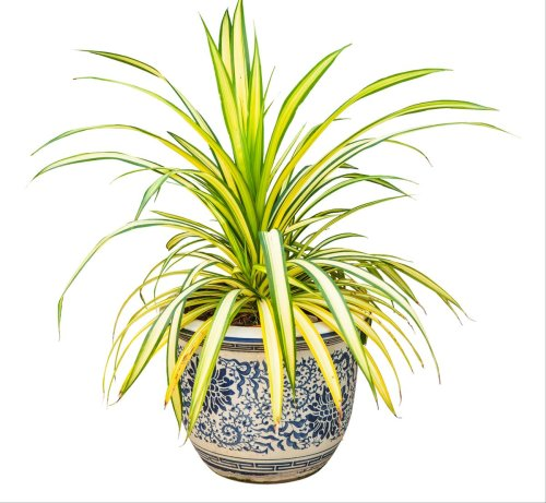 Your spider plant care guide : the hardy rock star of houseplants