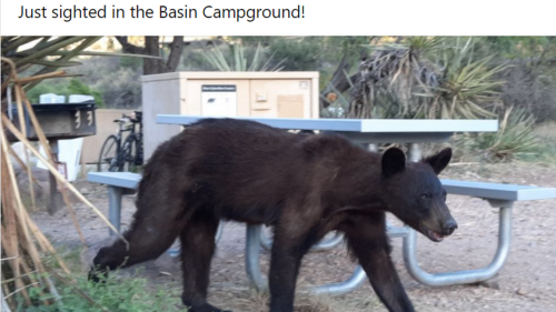 'Skinny' bear spotted in Texas causing some to worry. 'Poor guy needs a cheeseburger'
