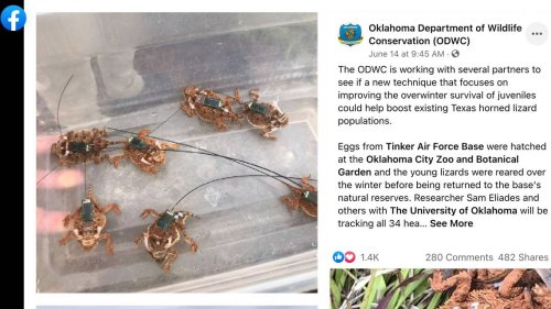 Lizards with antennas are roaming Oklahoma. They're not spying on us, researchers say