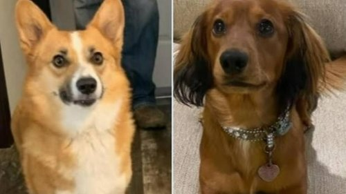 Owner offering $1K reward for stolen dogs Bentley and Ila in Parker County theft