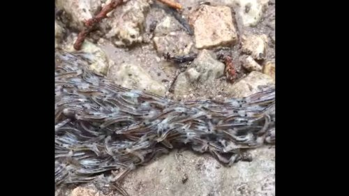 Blob of 'creepy critters' writhes in Texas state park, video shows. What are they?