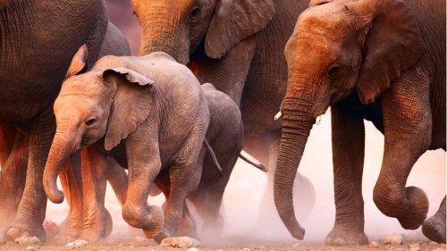 Elefanten trampeln mutmaßlichen Wilderer in Südafrika zu Tode