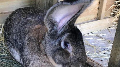"""""""Längstes Kaninchen der Welt"""" in Großbritannien gestohlen – Besitzerin lobt 1000 Pfund Belohnung aus"""