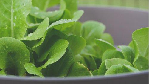 Forscher züchten Spinat, der Mails verschicken kann