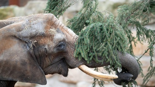 Festmahl im Dresdener Zoo: Elefanten fressen alte Weihnachtsbäume