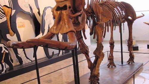 Zwerg-Elefanten aus Sizilien schrumpften radikal auf zwei Meter Höhe