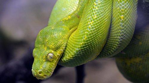 Haldensleben sucht einen Python: Drei-Meter-Schlange wohl in der Stadt unterwegs