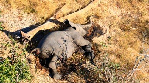 """Tierschützerin: """"Wir haben in den letzten 50 Jahren etwa 80 Prozent der Elefanten verloren"""""""