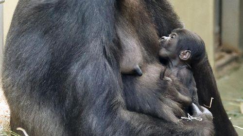 Berliner Zoo bittet um Namensvorschläge für zwei Wochen altes Gorillababy