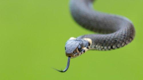 Australisches Ehepaar findet Schlange im Aldi-Salat