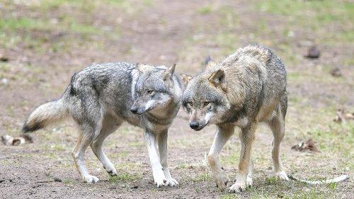 """Agrarministerin Klöckner fordert gezielten Abschuss einzelner Wölfe: Blockadehaltung sei """"weltfremd"""""""
