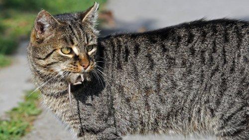 """Warum Katzen lebendige Mäuse nach Hause bringen – es sind keine """"Geschenke"""""""