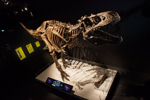 """Saint Louis Center opening special exhibit """"Tyrannosaurs: Meet the Family"""" this Saturday"""