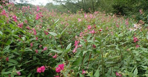 Invasive plants that will ruin your garden if you don't act