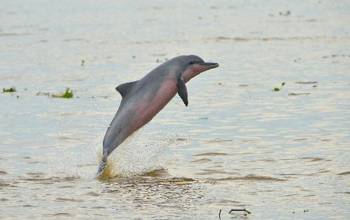 Conservationists: Bisons revive, freshwater dolphins dwindle