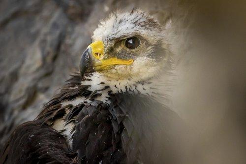 Golden eagle populations struggling in Utah and the West