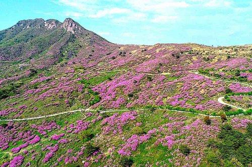 Beautiful sights of Hwangmaesan Mountain azaleas