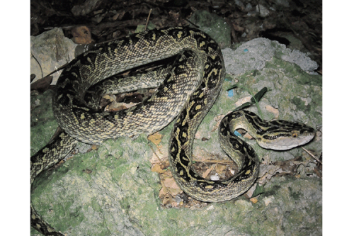 Habu are sneaky, venomous snakes on Okinawa!