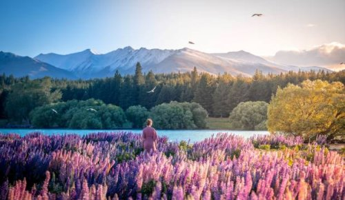 Blooming pest pops up on Tourism New Zealand website despite efforts to halt promotional pics of Russell Lupin