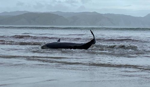 Two pygmy sperm whales die after washing up Mahia Beach