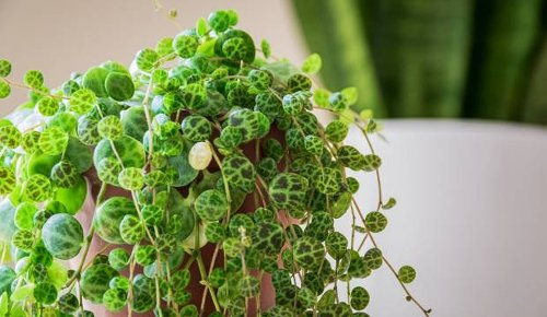Bargain batch of unusual string of turtles houseplants sells out before lunch