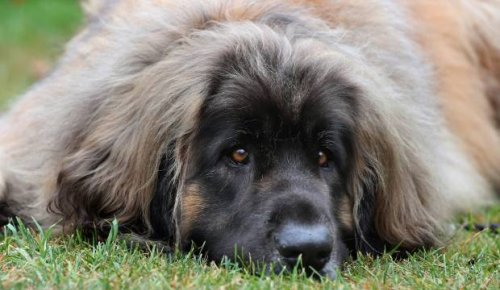 Big dogs celebrated in Timaru at two events