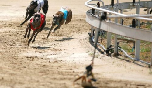 Greyhound official disqualified for two years after placing 200 bets