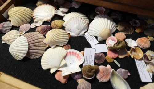Massive collection of fossil and shell up for auction in Timaru