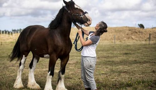 Foxton Clydesdale icon dies after long cancer battle