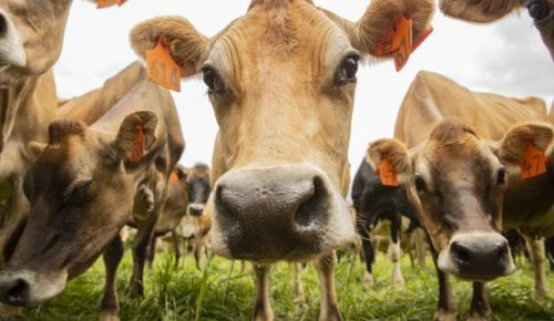 Cows with less gas in the tank to help farmers arrive at their climate targets