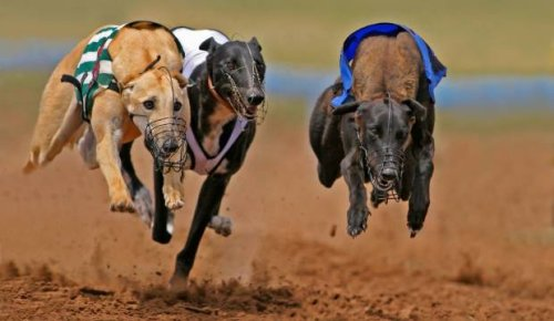 Winning greyhound tests positive for horse drug that trainer claims was from tainted meat