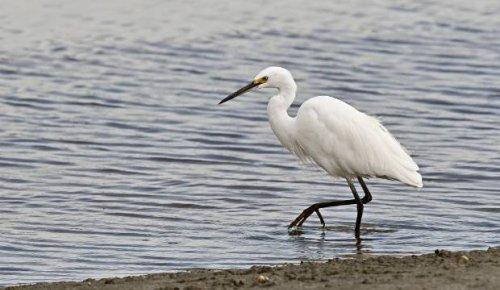 Wildlife photographer stunned to snap elusive little egret in Manawatū Estuary