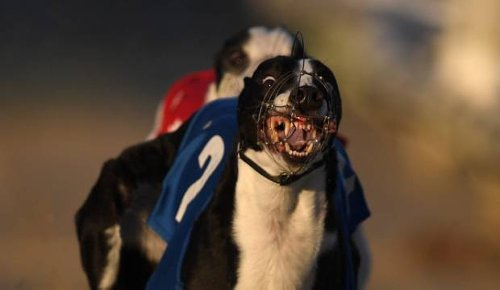 Review into greyhound racing and welfare launched by Racing Minister Grant Robertson