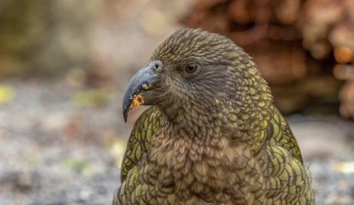Workers displaced by Covid-19 busy removing lead to protect kea