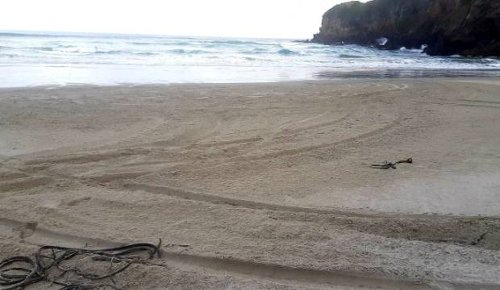 Drivers doing doughnuts thought to have taken out penguin on Dunedin beach
